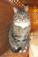 "Adult Male Cat - Tabby - Grey: ""OLIVIER"""