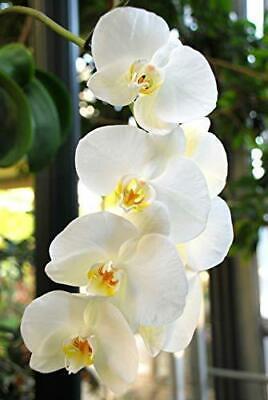 Phalaenopsis Orchid White Hawaiian Starter Plant - 2