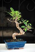 Live Ficus Tree