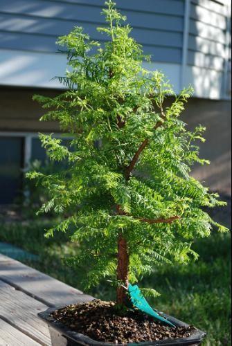Redwood Bonsai Ebay