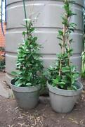 Large Pot Plants