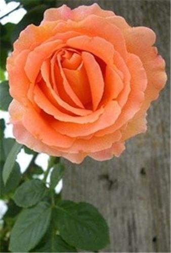 Climbing Rose Plant Ebay