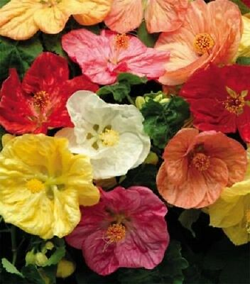 15+ ABUTILON HYBISCUS-LIKE FLOWERING MAPLE PERENNIAL SEED MIX