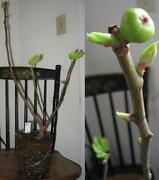Fig Tree Plant