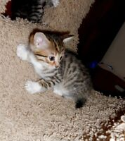 Six Spotted Bengal x Genetta Kittens MOST with nice rosettes