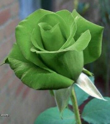 5 Green Rose Rosa Bush Shrub Perennial Flower Seeds   Gift   Comb S H