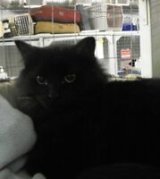 "Adult Male Cat - Domestic Long Hair-black: ""Cheeco"""