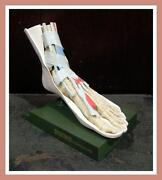 Vintage Anatomy Model
