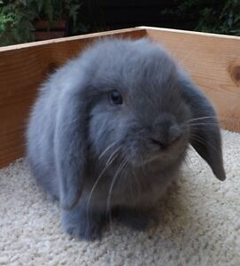 Holland Lop sweet baby bunnies! Wonderful little pets!