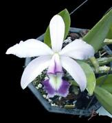 Cattleya Species Orchid
