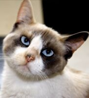 """Young Female Cat - Dilute Calico: """"Cinderella"""""""