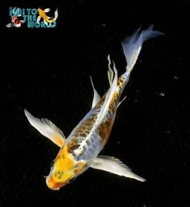 Live koi fish ebay for Live butterfly koi for sale