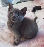 "Young Female Cat - Russian Blue: ""Aqua"""