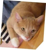 """Adult Male Cat - Domestic Short Hair - buff and white: """"Renoir"""""""