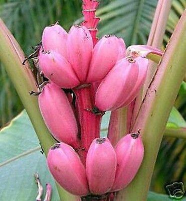 Rosa Zwergbanane hat rosafarbene Früchte; eine superschöne Zierpflanze !