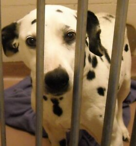 Senior Female  - Dalmatian