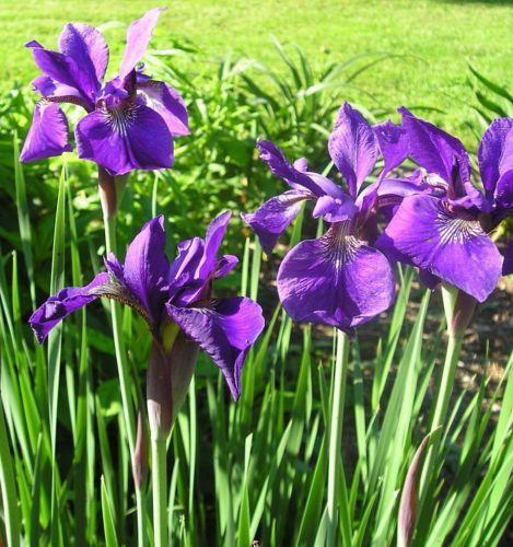 Siberian Iris: Flowers, Trees & Plants
