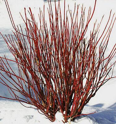 Dogwood Red Twig 10 Unrooted Cuttings + 2 FREE Cornus Stolonifera Flower Hardy ](Dogwood Bloom)