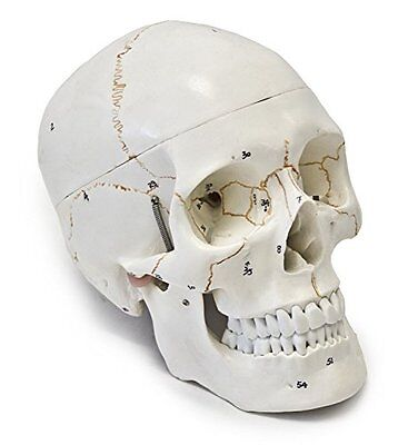 Wellden Medical Anatomical Human Skull Model 3-part Numbered Life Size Teaching