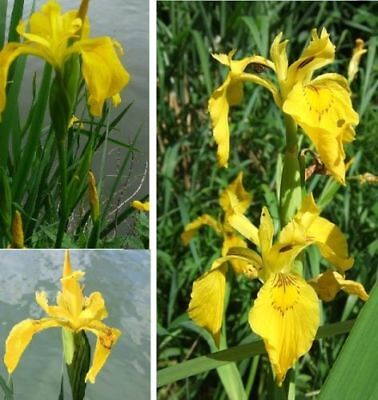 Sumpfiris Deko für den Garten Gartenteich Dekoration ausgefallene tolle Dekoidee ()