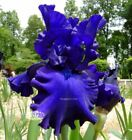 Bearded Iris (Tall) Iris without Custom Bundle Bulbs, Roots & Rhizomes