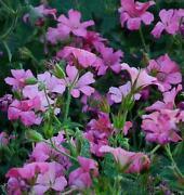 Hardy Geranium Plants