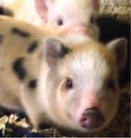 Real Mini Micro Pigs - ONLY 1 LEFT