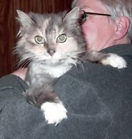 "Adult Female Cat - Calico-Domestic Long Hair: ""Kaylene"""