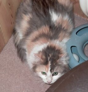 "Senior Female Cat - Calico-Domestic Medium Hair: ""Penny Lane"""