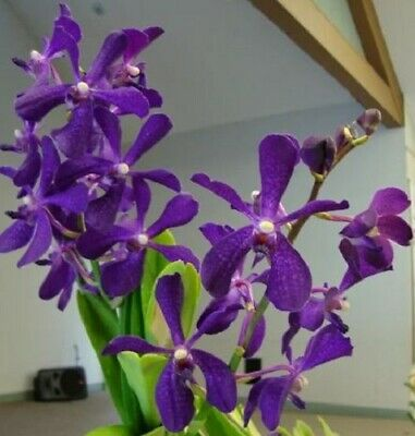 BIN-Mokara Chao Praya Boy 'Blue' Easy to grow! Great Landscaping plants! Superb!