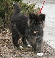 "Baby Female Dog - Collie-Keeshond: ""Spirit"" Ottawa Ottawa / Gatineau Area Preview"