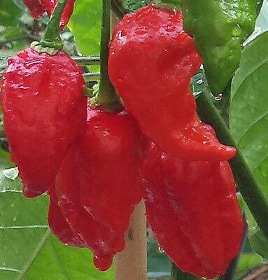 Naga Viper Chilli, One of the Hotest in the world - 10 Seeds for sale  Shipping to United States