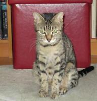 "Young Female Cat - Domestic Short Hair: ""Demeter"""