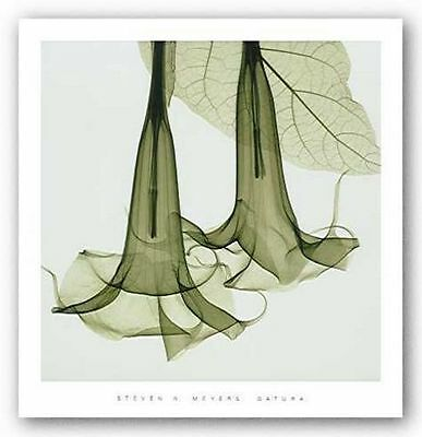 PHOTO FLORAL ART PRINT Datura by Steven Meyers 24x24