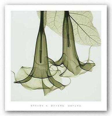 PHOTO FLORAL ART PRINT Datura by Steven Meyers 24x24 ()