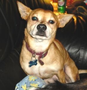 Senior Male  - Chihuahua-Jack Russell Terrier