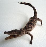 Crocodile Taxidermy