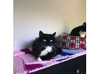 MISSING CAT - BLACK&WHITE, MALE - STREATHAM HILL, LONDON