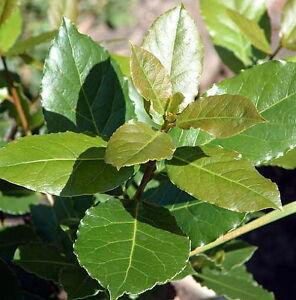 sweet bay laurel herb with nature blue plant food. Black Bedroom Furniture Sets. Home Design Ideas