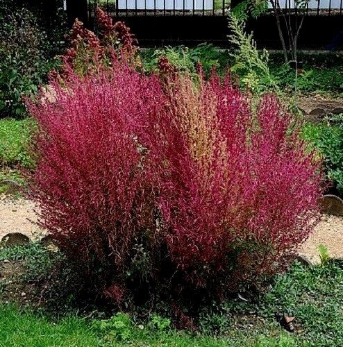 Burning Bush Kochia Scoparia Bassia Bright Red Shrub Fire Bush