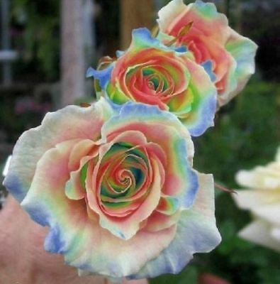 10 Rainbow Rose Seeds Flower Bush Perennial Shrub Garden Home Exotic - Rainbow Flower