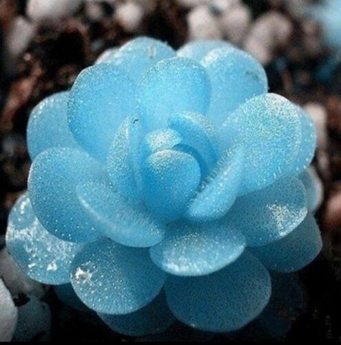 USA-Seller 50Pcs seedsMini Potted Succulents Seed  Stone Blue Lotus Flower Seeds
