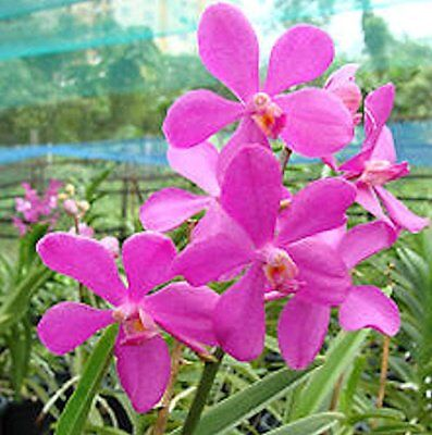Used, Orchid Vanda Chaopraya Delight Semi Terete …. Stock #276-4 for sale  Shipping to Canada