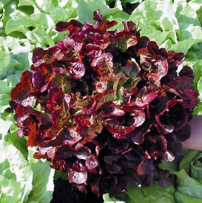 Salat Pflücksalat Red Salad Bowl Samen Red Salad Bowl