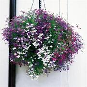 Lobelia Plug Plants