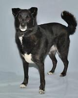 "Adult Male Dog - Labrador Retriever-Husky: ""Cody"" Gatineau Ottawa / Gatineau Area Preview"