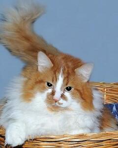 Adult Male  - Maine Coon-Domestic Long Hair - orange