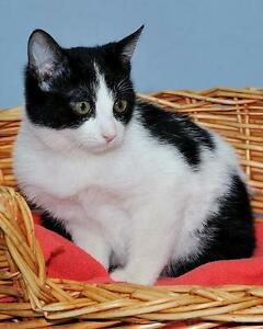 "Baby Female Cat - Domestic Short Hair-black and white: ""Missy"""