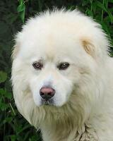 """Adult Male Dog - Great Pyrenees: """"Thunder"""""""