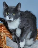 Young Female  - Domestic Short Hair - gray and white Gatineau Ottawa / Gatineau Area Preview